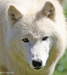 phototoartguy:  Arctic Wolf - Parc Animalier de Sainte-Croix April 2015 10 by reineckefoto on Flickr.