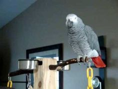 "African Grey Parrot from the youtube video ""Larry the parrot dials an imaginary phone number, rambles a little, then starts laughing"". These are highly intelligent birds that mimic your behavior right down to the pattern of your speech."