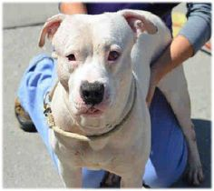 PULLED BY PET ADOPTION LEAGUE OF NY - SUPER URGENT 9/15/14 Brooklyn Center ROCKYJACKSON - A1013259 ***DOH HOLD RELEASED 9/15/14*** ***MODIFIED SIX MO QUARANTINE ***PROLAPSED EYE*** MALE, WHITE / GRAY, PIT BULL MIX, 3 yrs OWNER SUR - Reason COST INJ MINOR