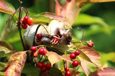 Penn State Today Photo Contest: Autumn at Penn State Ag Science, Animal Help, Communication Art, Fall Photos, Chipmunks, Photo Contest, Farm Animals, Philosophy, Berries