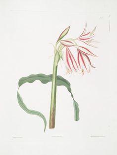 Edward Bury (English, 1799 - Crinum ornatum (via The New York Public Library) New York Public Library, Fine Art Prints, Bury, Painters, English, River, Nature, Plants, Photos