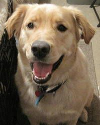 Adopt Marley On Adopt A Pet Golden Retriever Rescue Dogs