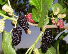 Want to know than mulberries are good for your health? ★ Learn about the benefits of mulberries, what are side effects for the body and nutrition values. Fruit Bearing Trees, Fruit Trees, Function Of Blood, Mulberry Fruit, Benefits Of Berries, Micro Nutrients, Bowl Of Cereal, Healthy Liver, Healthy Food