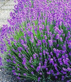 Lavender [Lavandula; Family: Lamiaceae] - A native of the Old World; found from Cape Verde and the Canary Islands, southern Europe across to northern and eastern Africa, the Mediterranean, southwest Asia to southeast India. Many members of the genus are cultivated extensively in temperate climates as ornamental plants for garden and landscape use, for use as culinary herbs, and also commercially for the extraction of essential oils. The most widely cultivated species, Lavandula angustifolia.