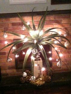 African Christmas tree