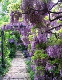 wow, wisteria and a crazy paving pathway... what more could a girl want!