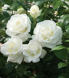 Moon Garden That Will Transform Your Yard Moon Garden That Will Transform Your Yard ẢNH - HOA - Wattpad Sugar Moon Hybrid Tea Rose ✿❁✽Delightful✾✽❃ Flowers beautiful rose floral 64 ideas ✫♦๏☘‿FR Sep 13 , ✤ ❀‿❀ ✫❁`✿ ~⊱✿ ღ~❥~✿ ༺✿༻♛༺ ♡⊰~♥⛩ ⚘☮️❋ Love Rose, Pretty Flowers, White Flowers, Red Roses, White Rose Plant, Coral Roses, Colorful Roses, Amazing Flowers, Beautiful Roses