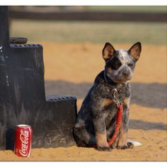 Australian Cattle Dog My favorite kind of dog , the blue heeler Austrailian Cattle Dog, All Breeds Of Dogs, Dog Rules, Labrador Retriever Dog, Bull Terrier Dog, Dogs And Puppies, Doggies, Dog Pictures, Blue Heelers