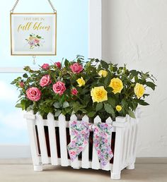 Our Charming Rose Garden features a beautiful pair of blooming rose plants, in pink and yellow. Designed in a charming white picket fence planter, with a floral-print grosgrain bow. It's perfect for all summer occasions like, summer birthdays, anniversaries or simply to celebrate the season. Blooming Plants, Blooming Rose, Summer Flowers To Plant, Fence Planters, Rose Arrangements, White Picket Fence, Planting Roses, Summer Birthday, Local Florist