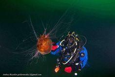 fot.Andrey Bizyukin www.nautilus.com.pl #nurkowanie #Morze Barentsa #diving #Barents Sea, #nurkowanie #Kraków, #kursy nurkowania, #wyprawy nurkowe, #baza nurkowa w Chorwacji, #zakwaterowanie Chorwacja, #apartamenty Chorwacja,#rejsy po Adriatyku,