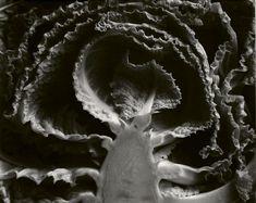 Edward Weston • Kale, Halved. 1930