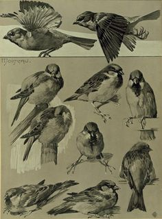 Sketches of house sparrows (passer domesticus) by Mathurin Mëheut (1882-1958)