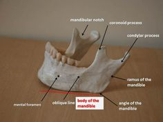 Skeleton of the face Dental Hygiene Education, Dental Assistant Study, Dental Health, Dental Care, Dental Anatomy, Human Anatomy, Skeleton Anatomy, Dental Surgery, Medical Art