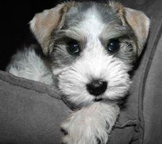 Cute miniature schnauzer puppy