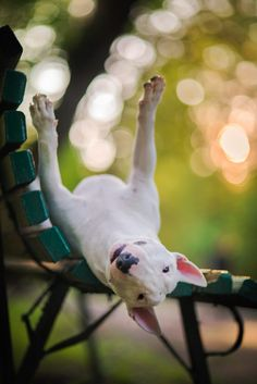 Uplifting So You Want A American Pit Bull Terrier Ideas. Fabulous So You Want A American Pit Bull Terrier Ideas. Tattoo Bull Terrier, Chien Bull Terrier, Pitbull Terrier, English Bull Terriers, Staffordshire Bull Terrier, Best Dog Breeds, Best Dogs, I Love Dogs, Cute Dogs
