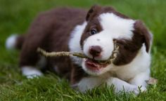 I captured this collie pup getting to grips with a twig, in the glorious June sunlight. Using a 70-200mm lense I was able to capture this shot from afar, without distracting her. I love the facial expression.