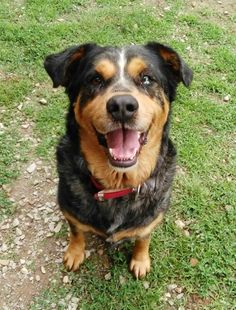 Aussie Mix, Dogs, Check, Animals, Animales, Animaux, Pet Dogs, Doggies, Animal