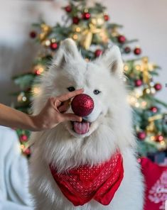 30 Of The Cutest Christmas Puppies On Earth [PICTURES | Dog christmas pictures, Christmas dog, Dog c
