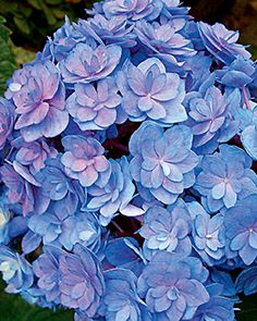 Forever and Ever - Together hydrangea. Flowers progress from light green to pink or blue, depending on soil acidity.