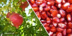 Τα ρόδια είναι τα φρούτα της ζωής και της καλοτυχίας. Ένα από τα πρώτα καρποφόρα δέντρα που καλλιεργ Farmer, Beans, Food And Drink, Home And Garden, Healthy Recipes, Fruit, Vegetables, Green, Nature
