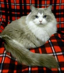 COSBY is an adoptable Ragdoll Cat in Sumter, SC. My name is COSBY and I'm a 2 year old male gray and white Ragdoll. I'm housebroken and neutered and I'm also very lazy! I prefer a home with no childre...