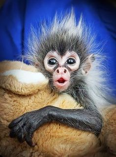 Bad hair day. Carers at Melbourne Zoo have been working around the clock to look after baby spider monkey Estela, who was rejected at birth by her mother in January. Picture: Alex Coppel.