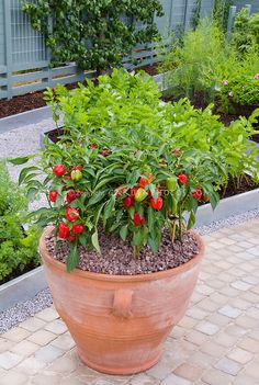 Pot container of peppers and, in the background, a few small galvanized metal-edged raised vegetable beds