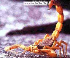 escorpião laranjado