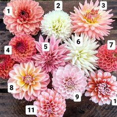 """What other dahlias go with Peaches n Cream? What a great question! I thought a visual would be…"""" - Cara Elizabeth Gitts Attention Bo Peep Robin Hood Cafe Kenora Challenger Snoho Doris Sheer Heaven Sweet Natalie Ala Mode Peaches N Cream Cut Flower Garden, Flower Farm, Flower Pots, Rare Flowers, Cut Flowers, Beautiful Flowers, Dahlia Bouquet, Dahlia Flower, Dahlia Wedding Bouquets"""