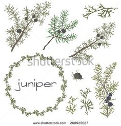 juniper berry drawing - Google Search