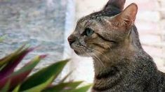 The African wildcat , also called Near Eastern wildcat is a wildcat species that lives in Northern Africa, the Near East and around the periphery of the Arabian Peninsula. Arabian Peninsula, Animal Pictures, Cats, Animals, Gatos, Animales, Kitty Cats, Animaux, Animal Pics