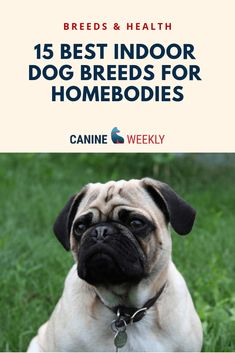 Dogs of all sizes can adapt to living indoors. Though, some breeds are just more suitable than others. Read here to learn more about these dog breeds perfect for indoor homebodies. Small Mixed Breed Dogs, Best Small Dogs, Big Dogs, Top Dog Breeds, Best Dog Breeds, Large Dog Breeds, Dog List, Military Dogs, Therapy Dogs