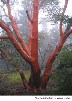 We had one of these in my backyard growing up. Coolest bark ever! Trees And Shrubs, Trees To Plant, Arbutus Tree, Tree House Interior, Simple Tree House, Palm Tree Silhouette, Street Trees, Palm Tree Leaves, Home Landscaping