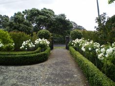 Spring - rose blooms, clipped bay standards & buxus hedging