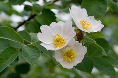 Rosa mollis, Iharuusu. Luonnonvarainen ruusu.