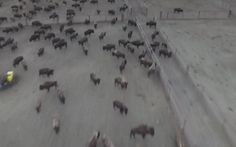 How is This Allowed?! Wild Buffalo Rounded Up and Kept Without Food or Water to Protect Dakota Access Pipeline Construction Site