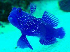 Indigo Watchman Goby Saltwater Tank, Saltwater Aquarium, Aquarium Fish, Weird Fish, Cool Fish, Rare Fish, Exotic Fish, Colorful Animals, Colorful Fish