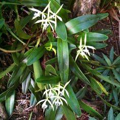 Wild orchids | Manicou gardens | Manicou River | Dominica | West Indies