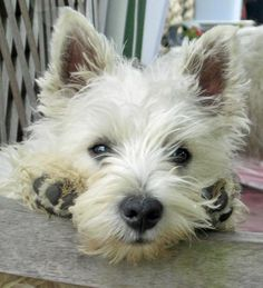 This looks like our dog. When we adopted her, she was completely shaved, so we had no idea what she would look like. We're pretty certain now that she's a Westie! #Westhighlandwhiteterrier  (originally pinned as: Dennis the West Highland Terrier)