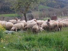 Our sheeps