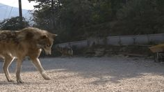 Fantasy Wolf, Fantasy Dragon, Werewolf Hunter, Wolf Hybrid, Timberwolf, Wolf Stuff, She Wolf, Beautiful Wolves, Anime Wolf