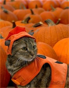 """Take me to your Pumpkin Festival"". Halloween for cats"