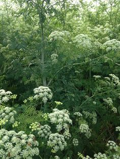 Poison Hemlock, not Queen Ann's Lace, both members of the parsley family. All parts of this plant are bad news, ask Socrates. 6' -10' tall. Very common, fields and ditches.