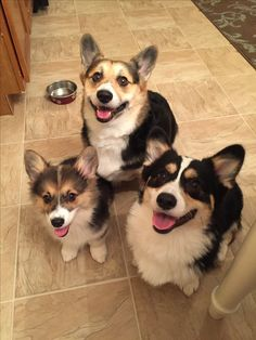 Look at those faces LOOKING back! Corgi Pictures, Animal Pictures, Donut The Dog, Animals And Pets, Cute Animals, Cute Cartoon Drawings, Pembroke Welsh Corgi, Pet Id, Corgi Dog