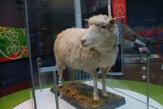 Dolly (5 July 1996 – 14 February 2003) was a female domestic sheep, and the first mammal cloned from an adult somatic cell, using the process of nuclear transfer.She was cloned by Sir Ian Wilmut, K…