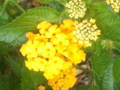 Yellow lamtana