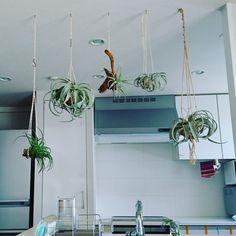 ハンギングで飾る!キッチンのグリーンコーディネート エアプランツ(ティランジア)がぶら下がっている姿は、見ていても楽しい気分に。 @tamurafumieさん提供 Indoor Flowers, Wire Crafts, Interior, Green, Plants, Pizza, Indoor, Interiors, Plant