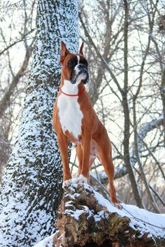 """Boxer, our """"Brunis"""" was a brindle. H e was our son's best friend."""