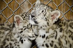 Meet the adorable snow leopard cubs at Seattle's Woodland Park Zoo - Woodland Park Zoo Seattle WA