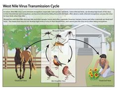 @SaludHEALTHinfo @ComptonCreekMAD West Nile virus is not transmitted From prson2prson or from animal 2prson through casual contact